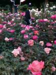 薔薇とシスター