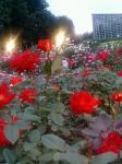 赤いバラ園