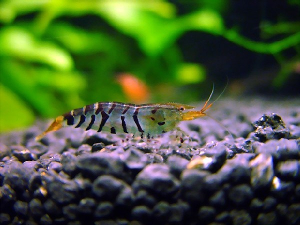 shrimp01.jpg
