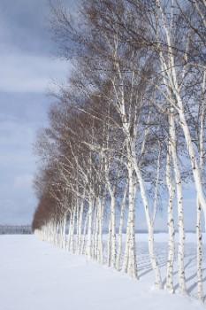 白樺の防風林だって