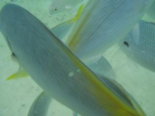 ドアップの背びれと尻尾の黄色い魚