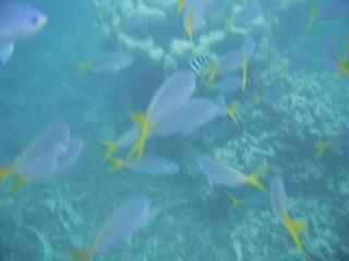 縦じまの魚が1匹