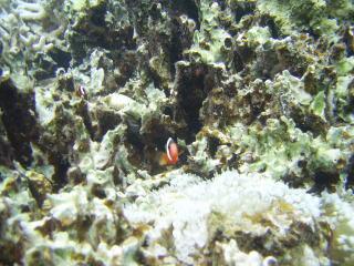珊瑚の中に隠れているカクレクマノミ