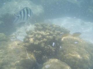 珊瑚と縦じまの魚