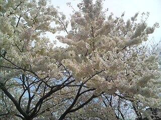 2008年桜1