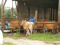 本家「ブモォォ?」のジャージー牛