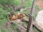 寝ぞう悪いライオン