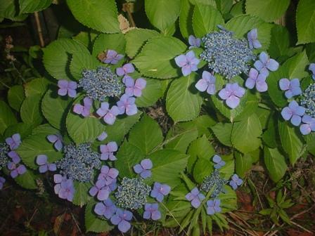 碧い紫陽花