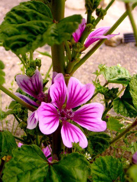 ゼニアオイ 花