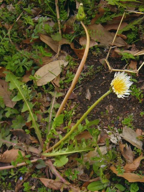 シロバナタンポポ 花後くねくねと曲がった花茎