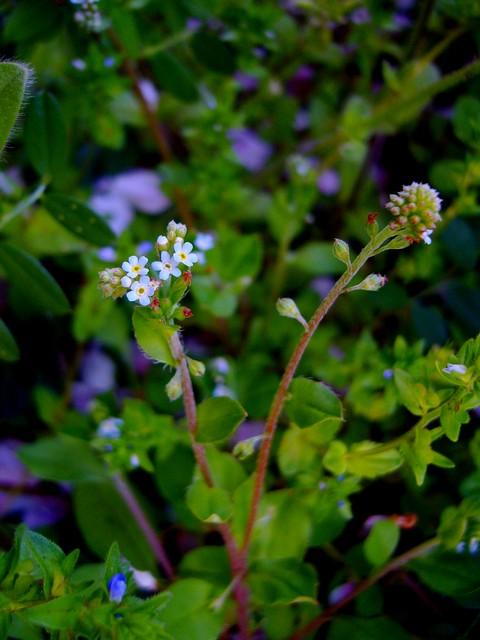 キュウリグサ 花序