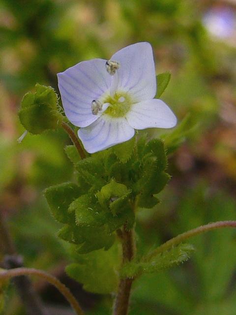 オオイヌノフグリ 筋以外白い花