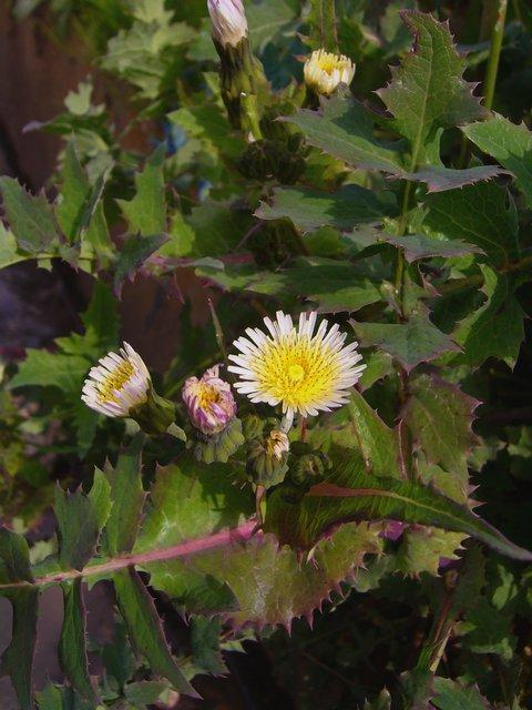 ウスジロノゲシ 花