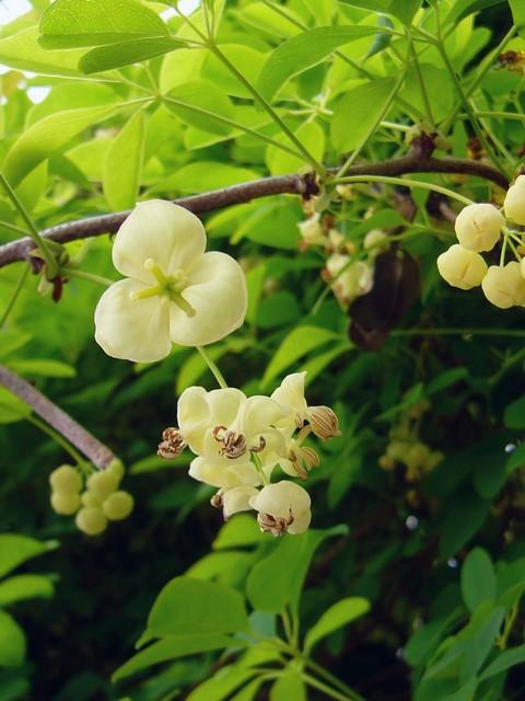 シロバナシロミアケビ 花