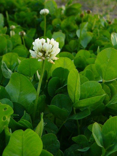 シロツメクサ 花