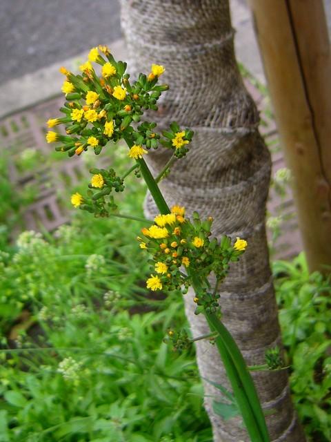 オニタビラコ 花序