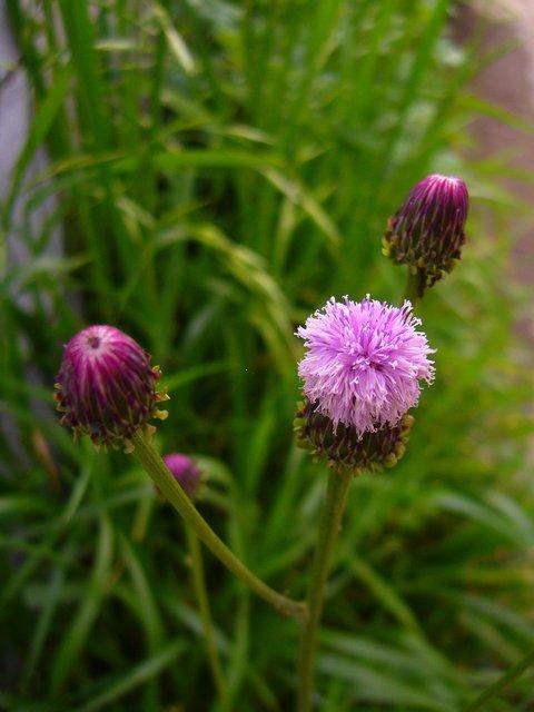キツネアザミ 花