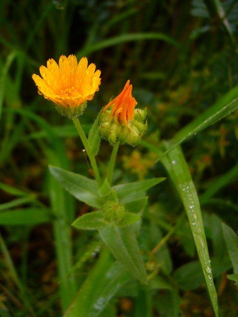 フユシラズ 花