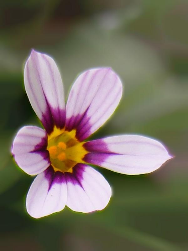 ニワゼキショウ 花