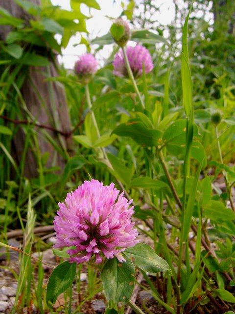 ムラサキツメクサ 花