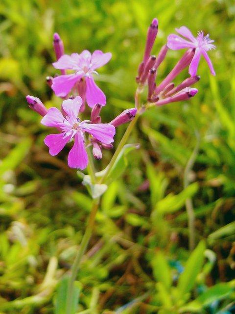 ムシトリナデシコ 花