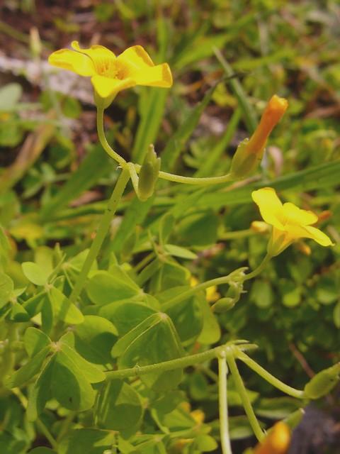 オッタチカタバミ 花序