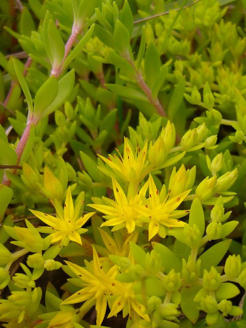 ツルマンネングサ 花