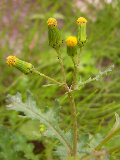 ノボロギク 花序と葉と茎