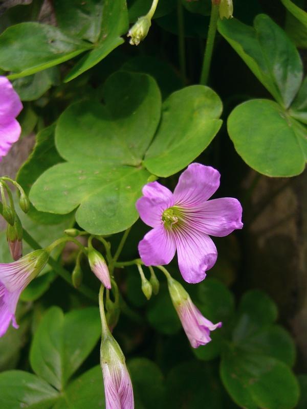 ムラサキカタバミ 花