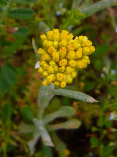 ハハコグサ 花