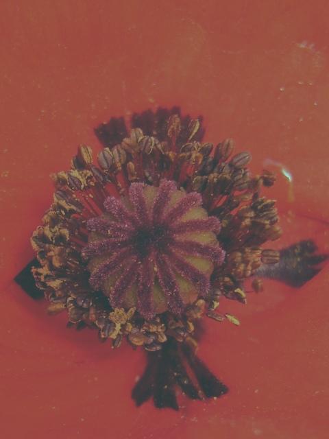 オニゲシ 花拡大
