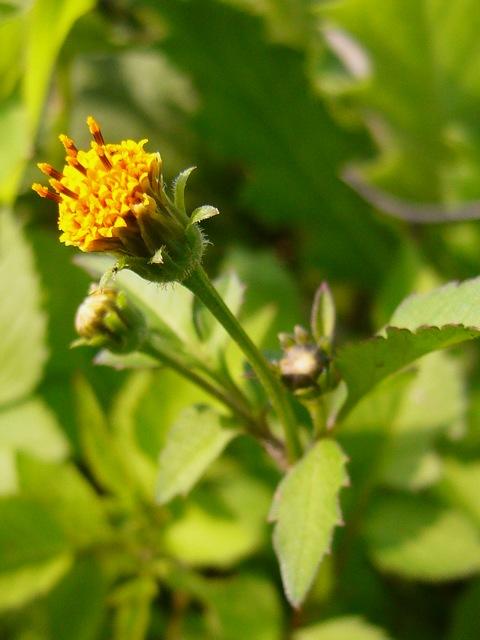 コセンダングサ 頭花