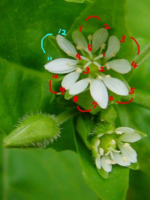 ウシハコベ 花