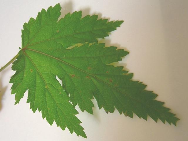 モミジイチゴ 葉