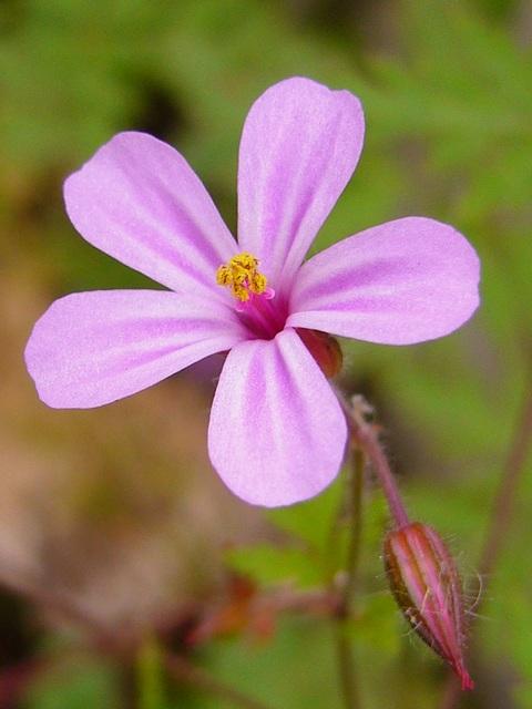 ヒメフウロ 花