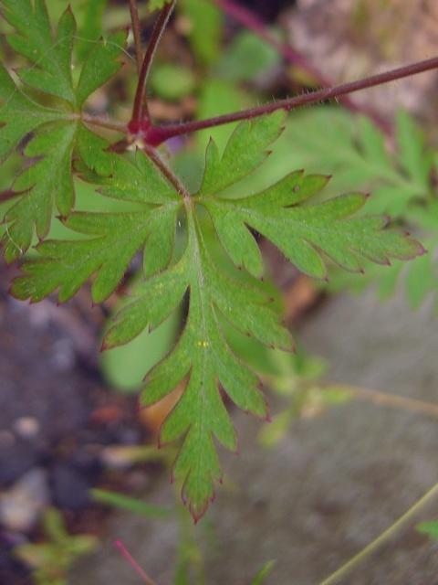 ヒメフウロ 葉