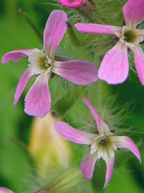 シロバナマンテマ 花