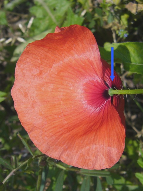 オニゲシ 花の後ろ