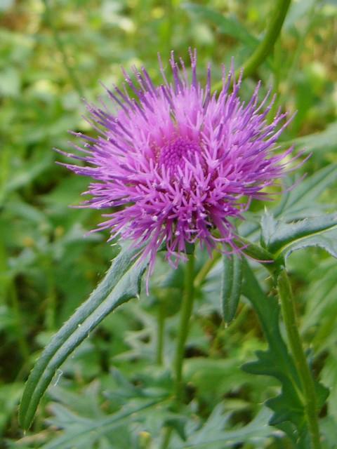 ノアザミ 頭花