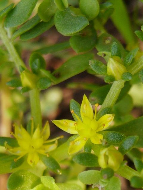 コモチマンネングサ 花