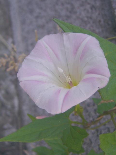 コヒルガオ 花