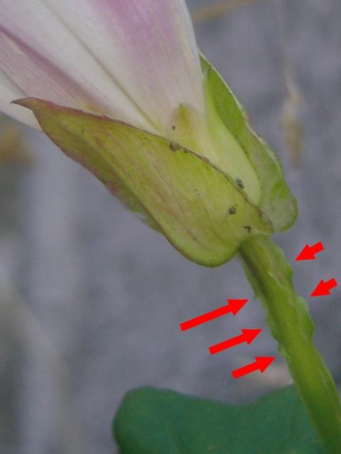 コヒルガオ 萼・花柄