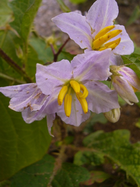 ワルナスビ 花