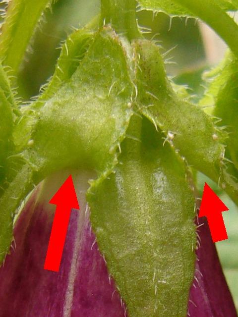 ホタルブクロ 萼