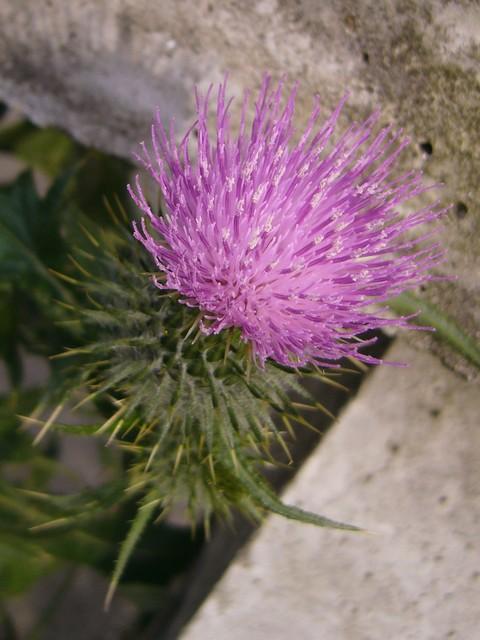 アメリカオニアザミ ちょうどいい時期の頭花
