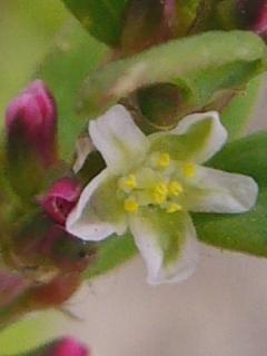 ハイミチヤナギ 花