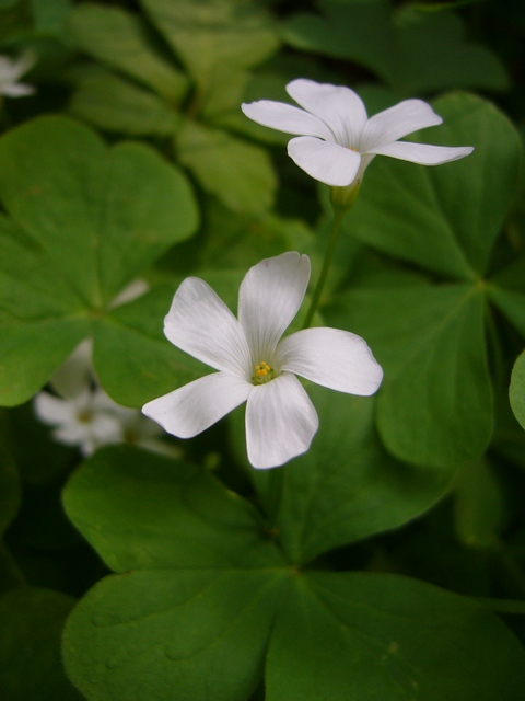 イモカタバミ 白花
