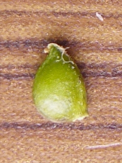 ウマノアシガタ 果実