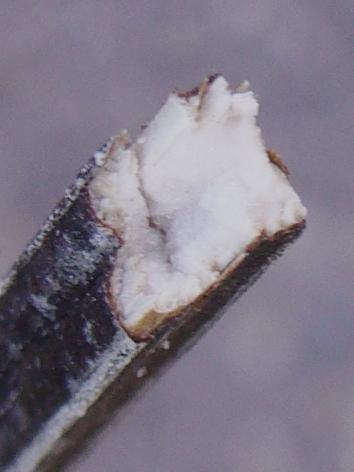 アレチハナガサ 茎の髄
