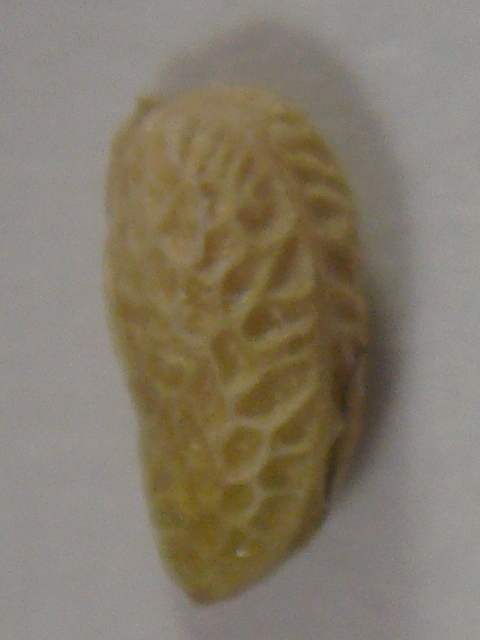 ボイセンベリー 種子